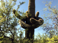Saguaro cactus...